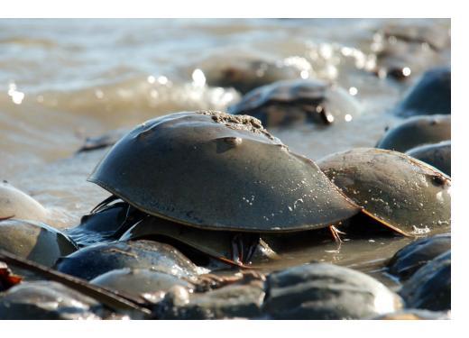 Horseshoe crab — Breese Greg, US Fish and Wildlife Service